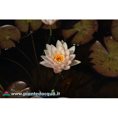 Waterlily Hilite
