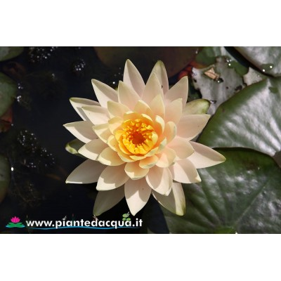 Waterlily Inner Light