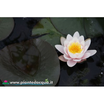 Waterlily Lactea