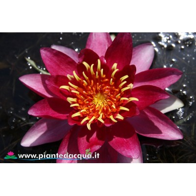 Waterlily Le Vesuve