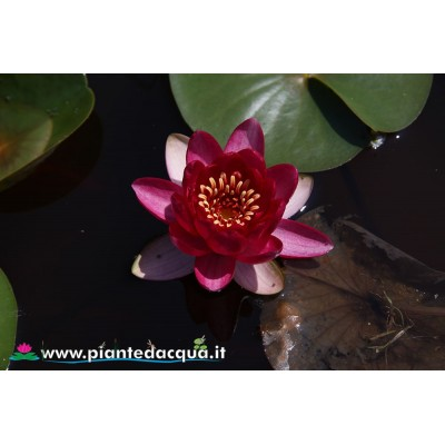 Waterlily Liou