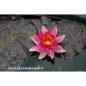 Waterlily Lucida