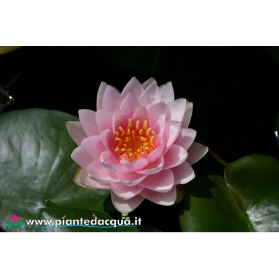 Waterlily M.me Wilfron Gonnere
