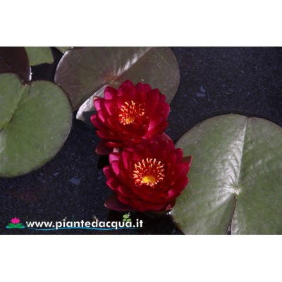 Waterlily Manee Red
