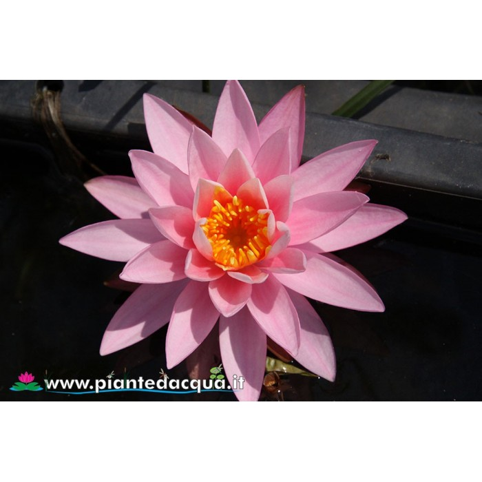 Waterlily Marechal Petain