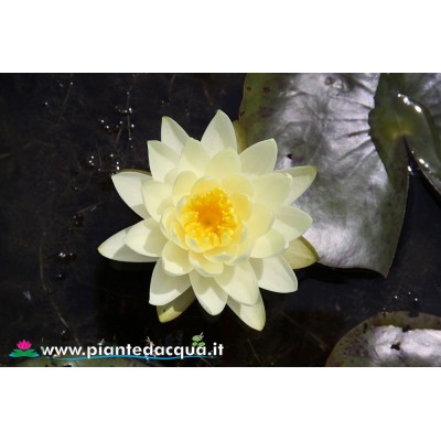 Waterlily Marliacea Chromatella