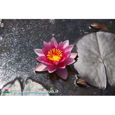 Waterlily Marliacea Flammea