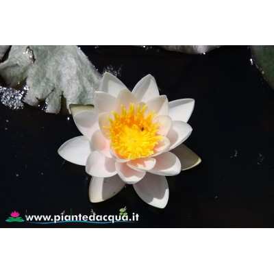Waterlily Mary Patricia