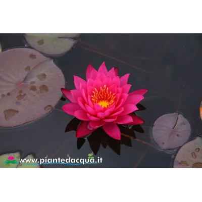 Waterlily Mayla
