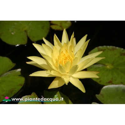 Waterlily Mexicana