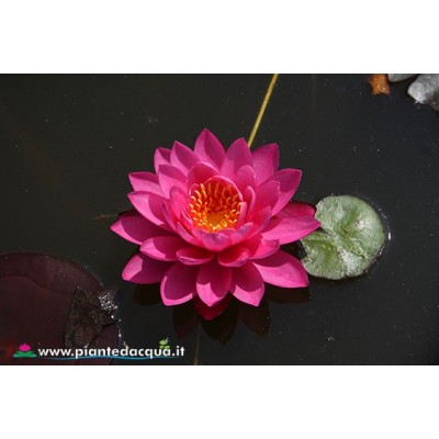 Waterlily Miss Siam