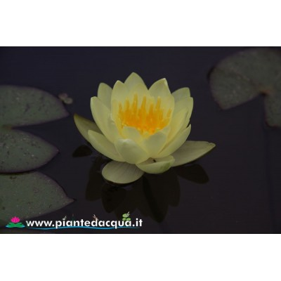 Waterlily Moorei