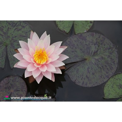 Waterlily Myra