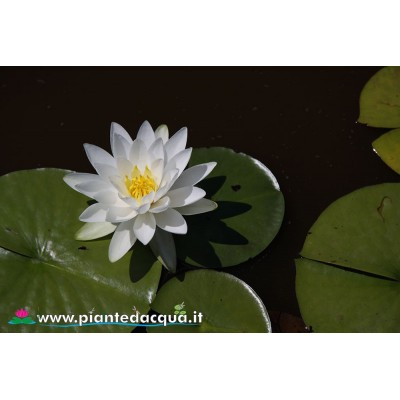 Waterlily Odorata