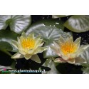 Waterlily Pam Bennet