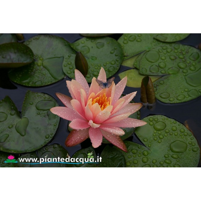 Waterlily Peace Lily