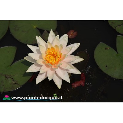 Waterlily Peach Glow