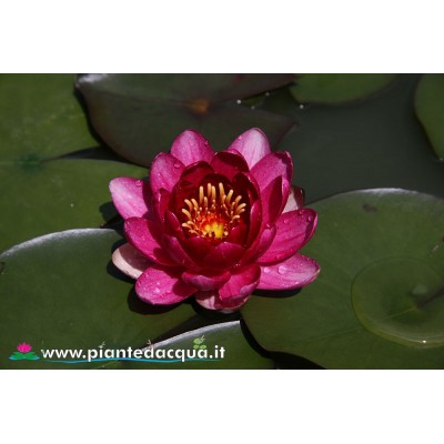 Waterlily Perry's Baby Red