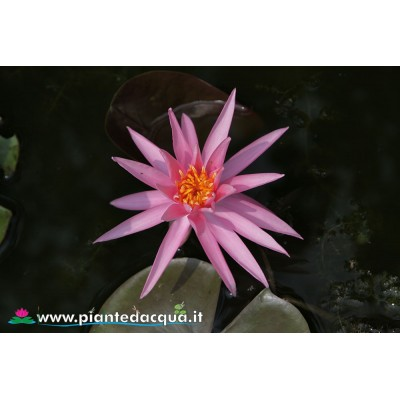 Waterlily Perry's Cactus Pink