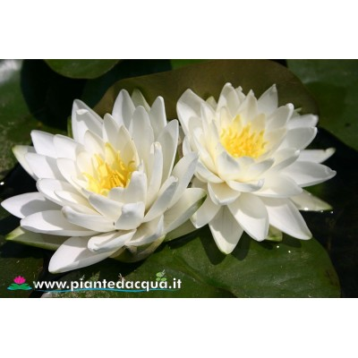 Waterlily Perry's Double White