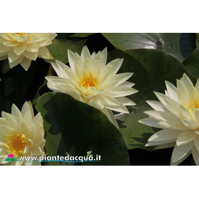 Waterlily Perry's Double Yellow