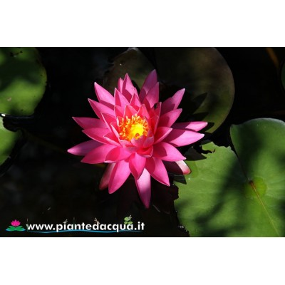 Waterlily Perry's Magnificent