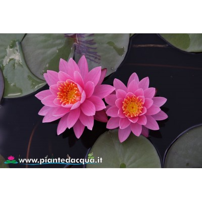 Waterlily Perry's Pink