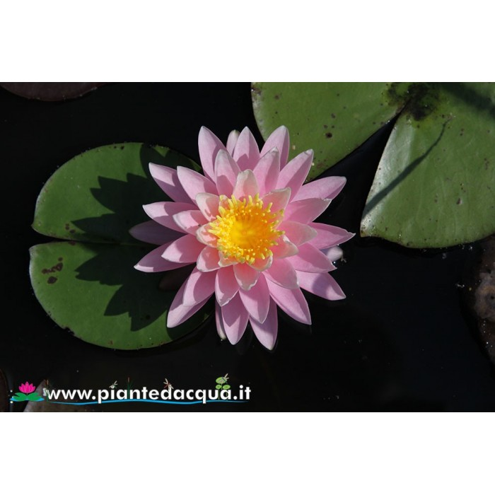 Waterlily Perry's Pink Heaven