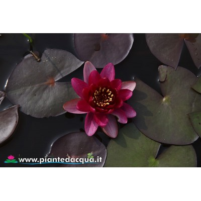 Waterlily Perry's Red Beauty