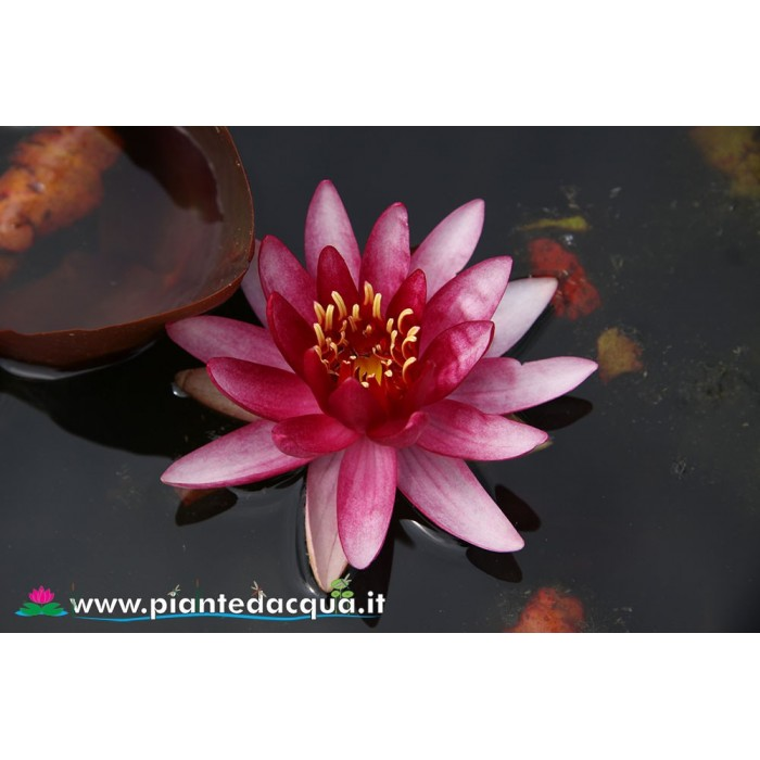 Waterlily Perry's Red Blaze