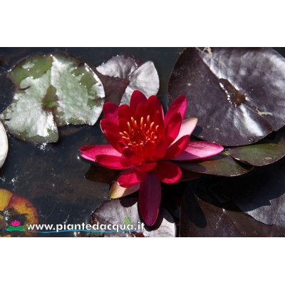 Waterlily Perry's Red Glow