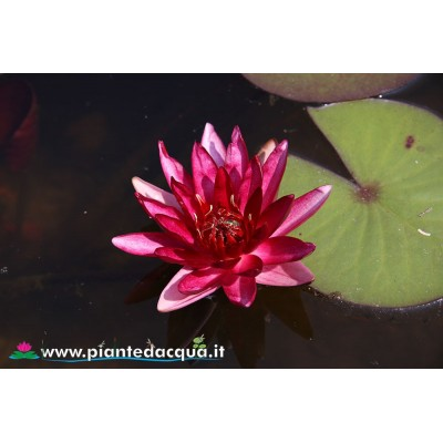 Waterlily Perry's Red Star