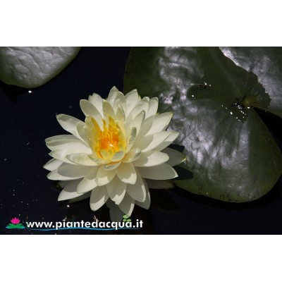 Waterlily Perry's Super Yellow