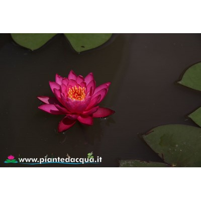Waterlily Perry's Viviparous Pink