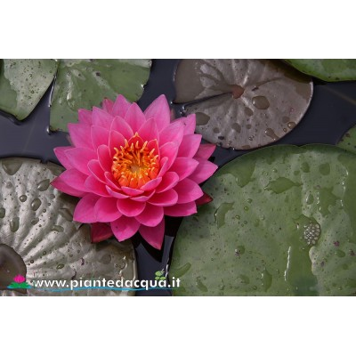 Waterlily Pink Ribbon
