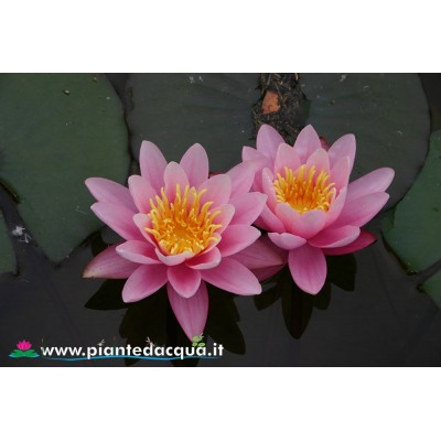 Waterlily Pink Sensation