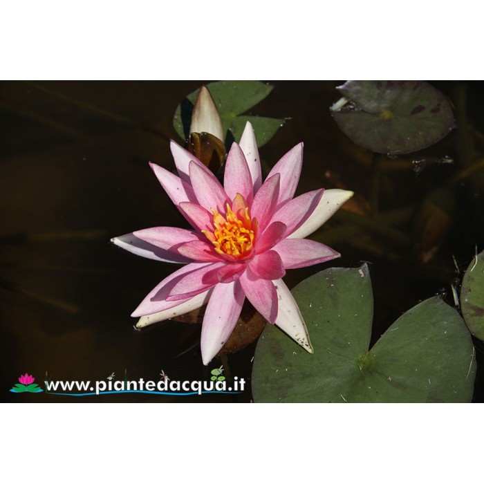Waterlily Pink Sparkle