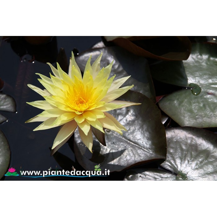 Waterlily Pinwaree