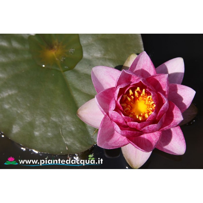 Waterlily Prapunt Red