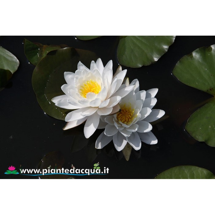 Waterlily Prapunt White