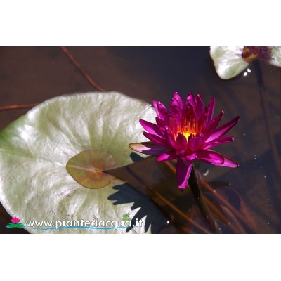 Waterlily Purple Fantasy