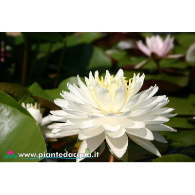 Waterlily White 1000 petals