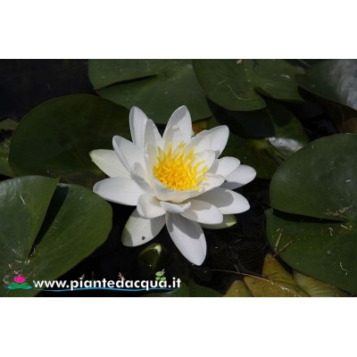Waterlily White Sultan