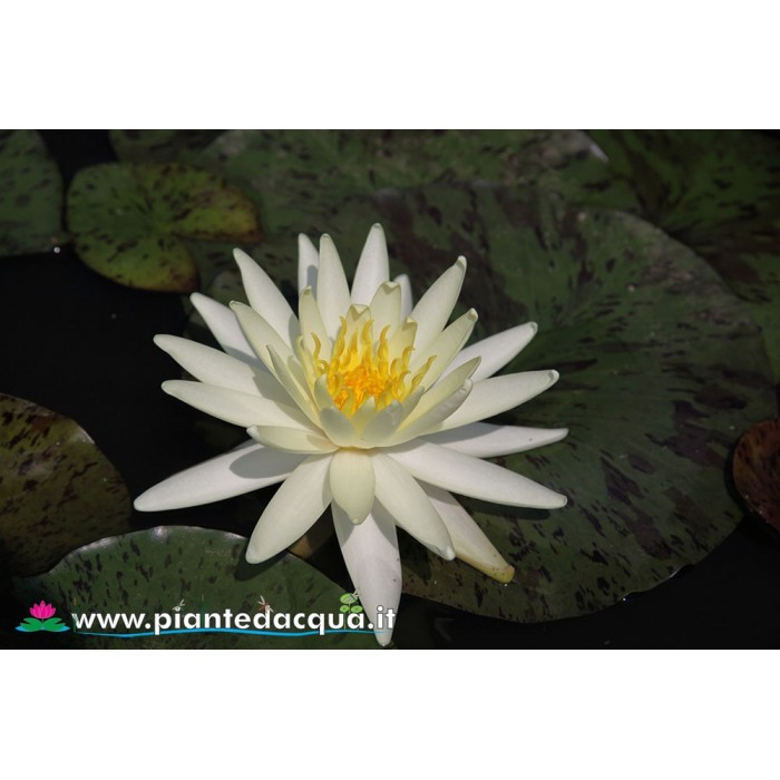 Waterlily Yellow Queen