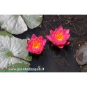 Waterlily Yuh Ling