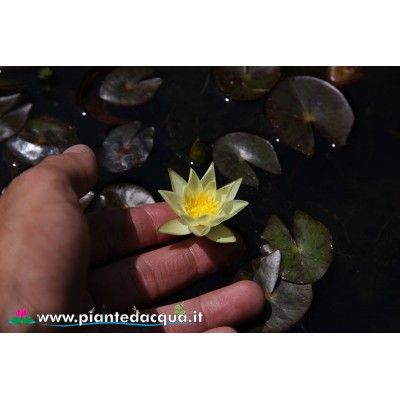 Waterlily Pygmaea Helvola