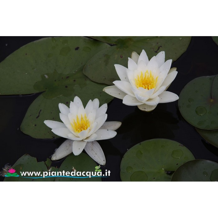 Waterlily Queen of whites