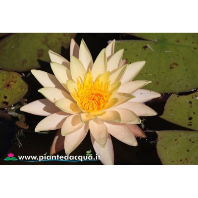 Waterlily Rasmitara