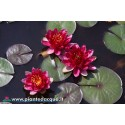 Waterlily Red Paradise