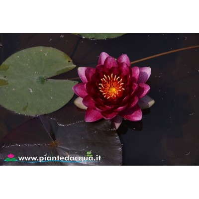 Waterlily Red Queen